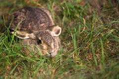 Hare in the grass, in the wild. Stock Photos