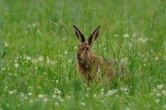 Hare in the Grassland. This hare i can photograph in the morning in the grassland royalty free stock photos
