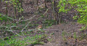 Hare grazing in the forest. Hare grazing in the forest, keeping a watchful eye stock video footage