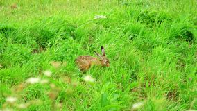 Hare in green grass. Near the runway of Amsterdam Airport stock video