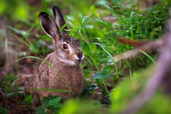 Hare in green grass Stock Photo