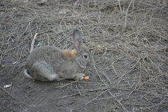 Hare. Grey hare eating a carrot Royalty Free Stock Images