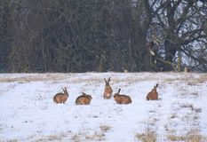 Hare Group in a Snow Dusted Meadow in Spring royalty free stock photos