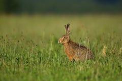 Hare i det härliga ljuset på grön grässlätt Royaltyfria Foton