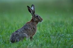 Hare i det härliga ljuset på grön grässlätt Royaltyfri Fotografi