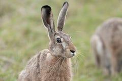 Hare i det löst. Arkivbilder