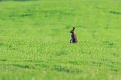 Hare i ett fält Arkivbilder