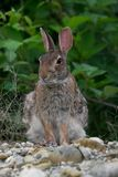 Hare i fältet Arkivbild