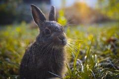 Hare i gräset Royaltyfria Bilder