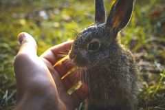Hare i gräset Royaltyfria Foton
