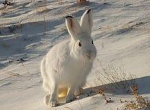 Hare i snön Royaltyfri Foto