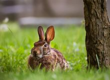 A hare or jackrabbit in a midtown Toronto cemetery stock photography
