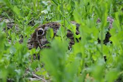Hare ( Lepus europaeus ) Royalty Free Stock Images