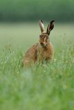Hare ( Lepus europaeus ). This hare i can shoot in the grassland where he is eating Stock Photos