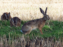 Hare (Lepus europaeus) Royalty Free Stock Photo