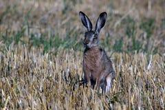 Hare Lepus europaeus royalty free stock photos
