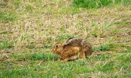 Hare or Lepus. Hare or Lepus sitting still so as not to be noticed on a grass headland in Norfolk UK royalty free stock photography