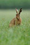 Hare (Lepuseuropaeus) Arkivfoton