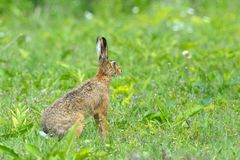 Hare in Letea Forest Royalty Free Stock Images