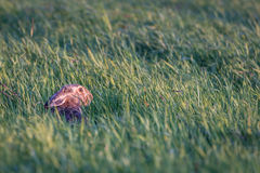 Hare in long grass Royalty Free Stock Images