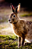 Hare looking stock photos