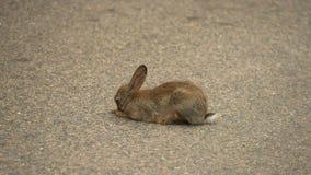Hare lying on asphalt road Stock Photos