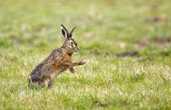Hare (Lepus europaeus) Stock Image