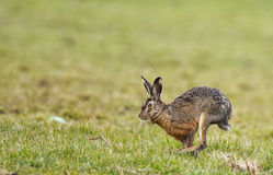 Hare (Lepus europaeus) Royalty Free Stock Images