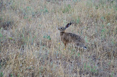 Hare munching the grass. Hare that is munching the grass royalty free stock images