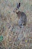 Hare munching the grass Stock Image