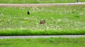 Hare nära landningsbana av den Dusseldorf flygplatsen lager videofilmer