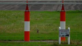 Hare nära landningsbana av den Dusseldorf flygplatsen stock video
