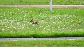 Hare nära landningsbana av den Dusseldorf flygplatsen arkivfilmer