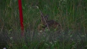 Hare near runway of Dusseldorf airport. European hare Lepus europaeus near runway. Dusseldorf airport, Germany stock footage