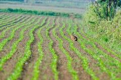 Hare på ett fält Arkivbilder