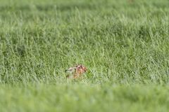 Hare in the Pasture in Springtime stock image