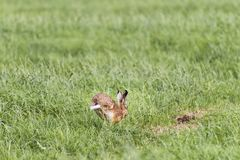 Hare in the Pasture in Springtime Royalty Free Stock Photography