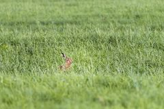 Wild Hare in the Pasture in Springtime Royalty Free Stock Images