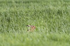 Hare in the Pasture in Springtime Royalty Free Stock Image