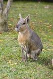 hare patagonian arkivfoton