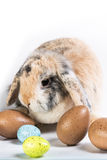 Hare pied with Easter eggs. Bunny sitting an the bottom surroundet by eastern eggs Stock Photo