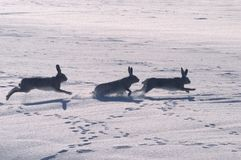 Hare play. Three large hare playing in the fresh snow. Photo taken with Nikon D100 in early january in north part of Holland Royalty Free Stock Photo