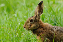 Hare Portrait Royalty Free Stock Photography