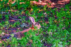 Hare with red eyes hides in the grass in the forest. Brown hare with red eyes hides in the grass in the forest, bunny, rabbit, fur, lay, green, plants, earth stock images