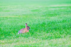 Hare with red eyes hides in the grass in the forest. Brown hare with red eyes hides in the grass in the forest, bunny, rabbit, fur, lay, green, plants, earth royalty free stock image