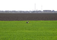Hare running across the field is a hare. A frightened hare.  Stock Images
