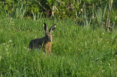 Hare running across the fields and meadows. Escape from the hunter. Mammal with long ears Royalty Free Stock Images