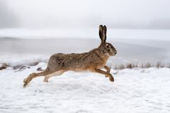 Hare running in the field. Hare running in the winter field Royalty Free Stock Photos