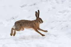 Hare running in the field royalty free stock images