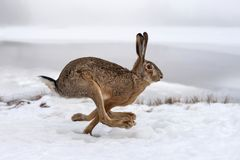 Hare running in the field stock photography